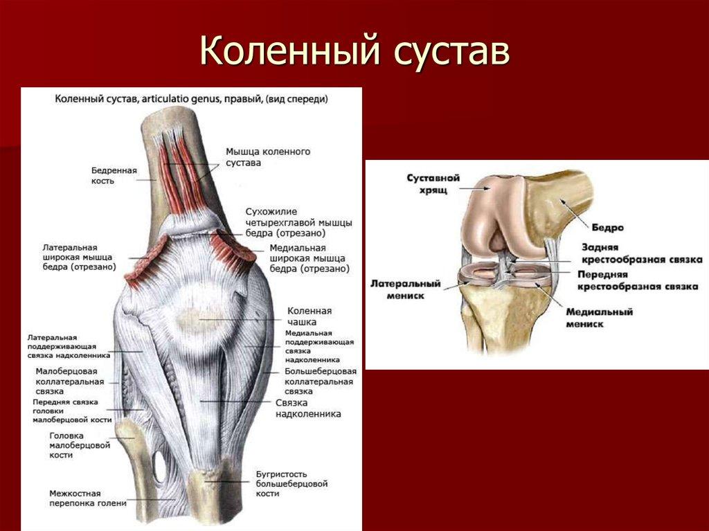 данной строение сустава человека фото с описанием краю