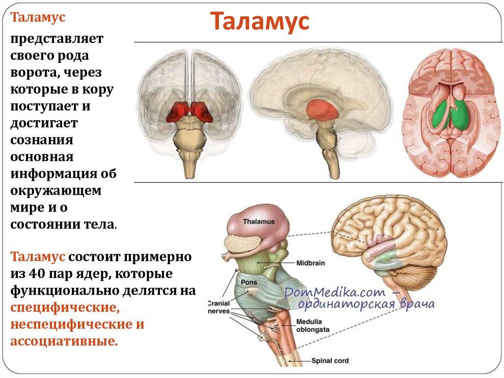 Неспецифічні - вони отримують інформацію від ретикулярної формації стовбура мозку по шляхах больової чутливості.