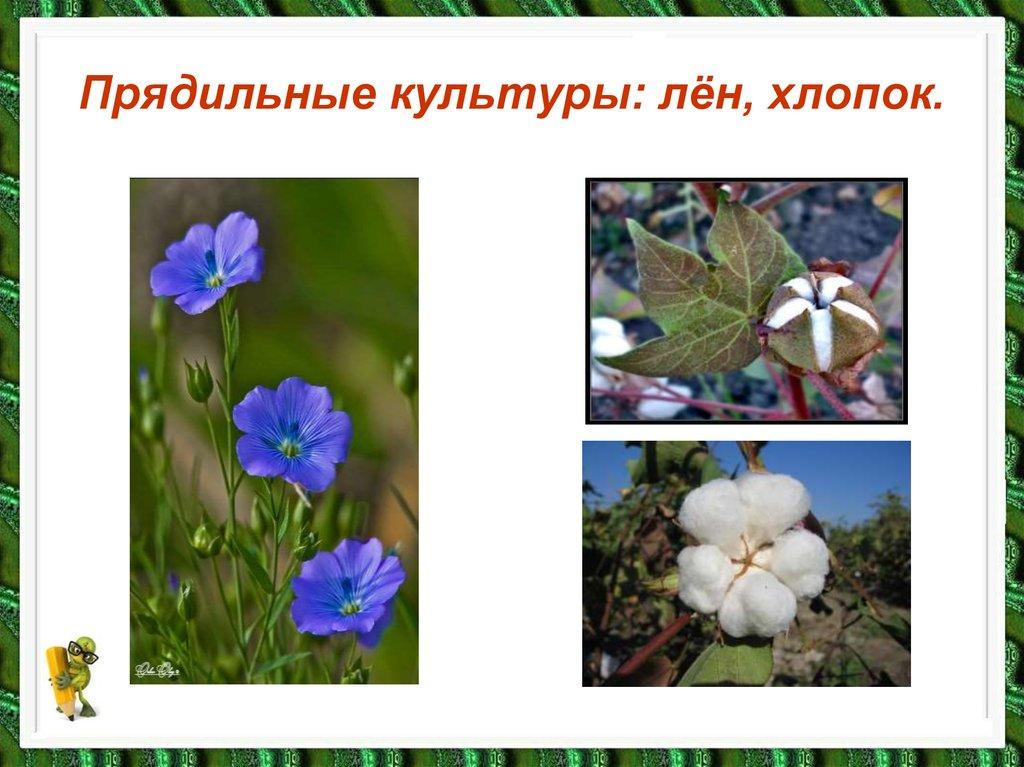 финских легендах фотографии растений льна и хлопчатника эти кадры