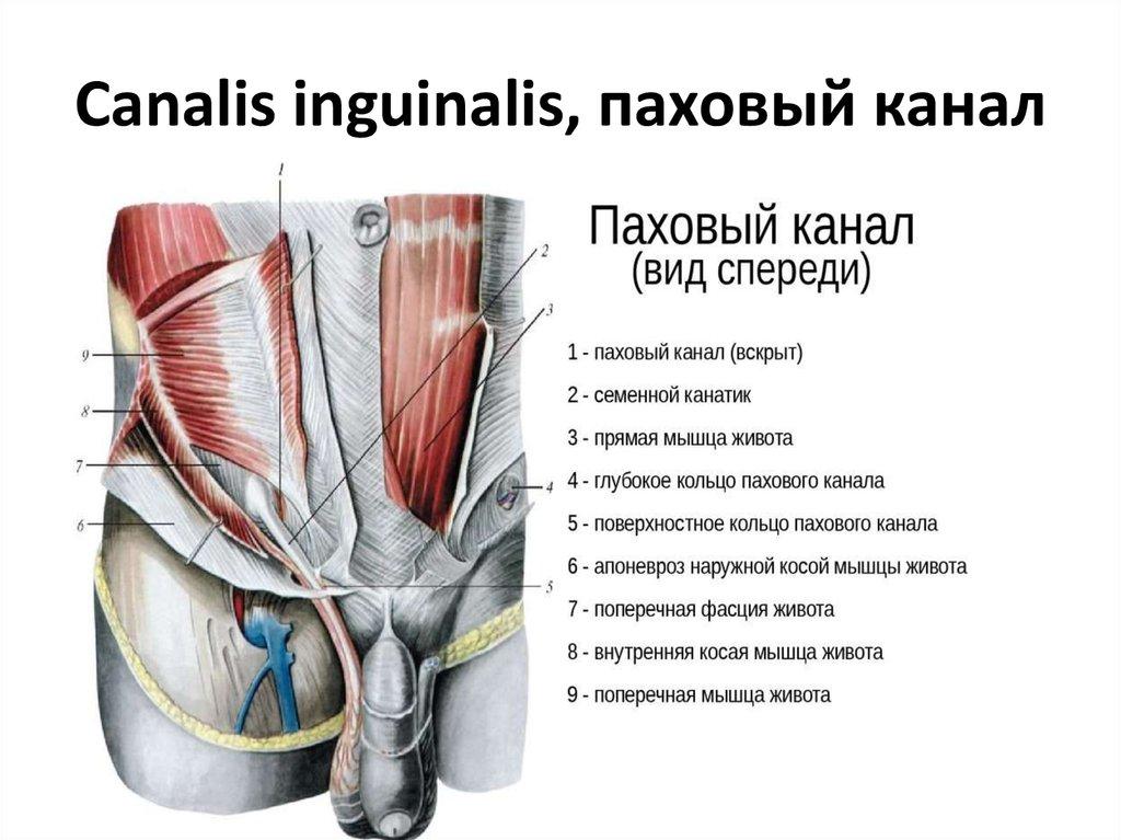 мышцы живота и спины паховый канал презентация онлайн