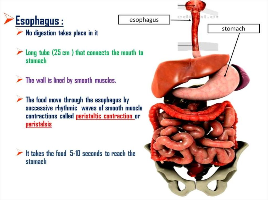 essays about the digestive system Digestive system introduction the digestive tract consists of the digestive tract, a tube extending from the mouth to the anus, plus the associated organs, which secrete fluids into the digestive tract.