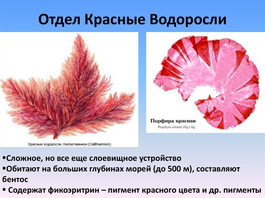 строение красной водоросли картинка качели для