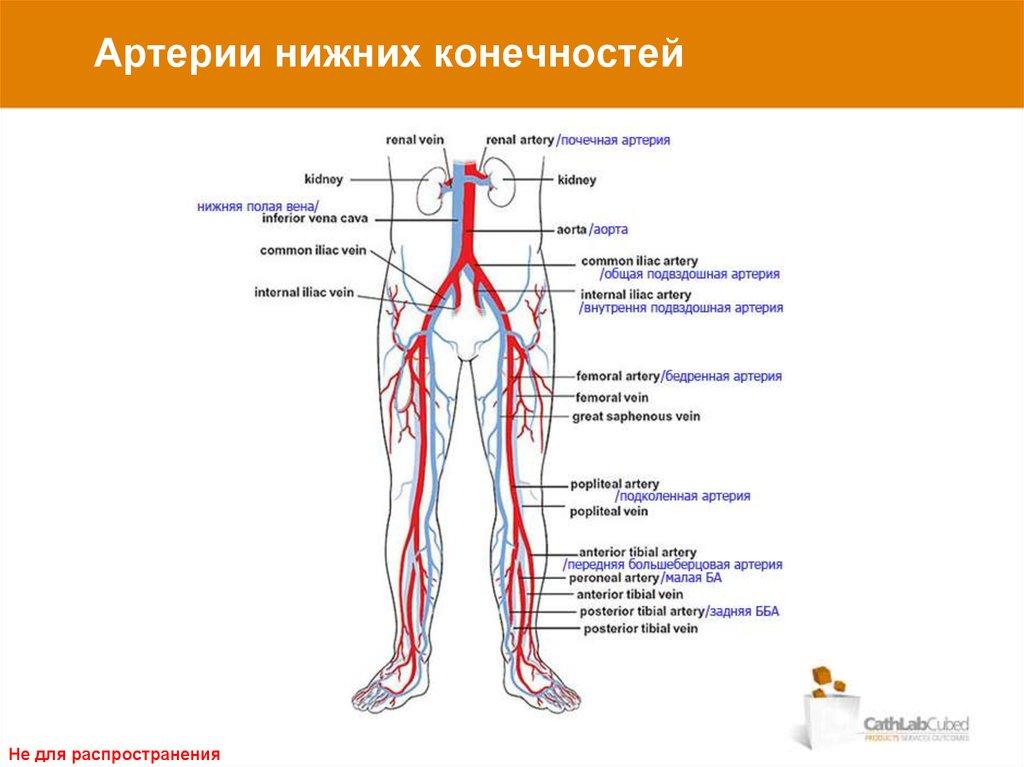 Вены и артерии нижних конечностей картинки