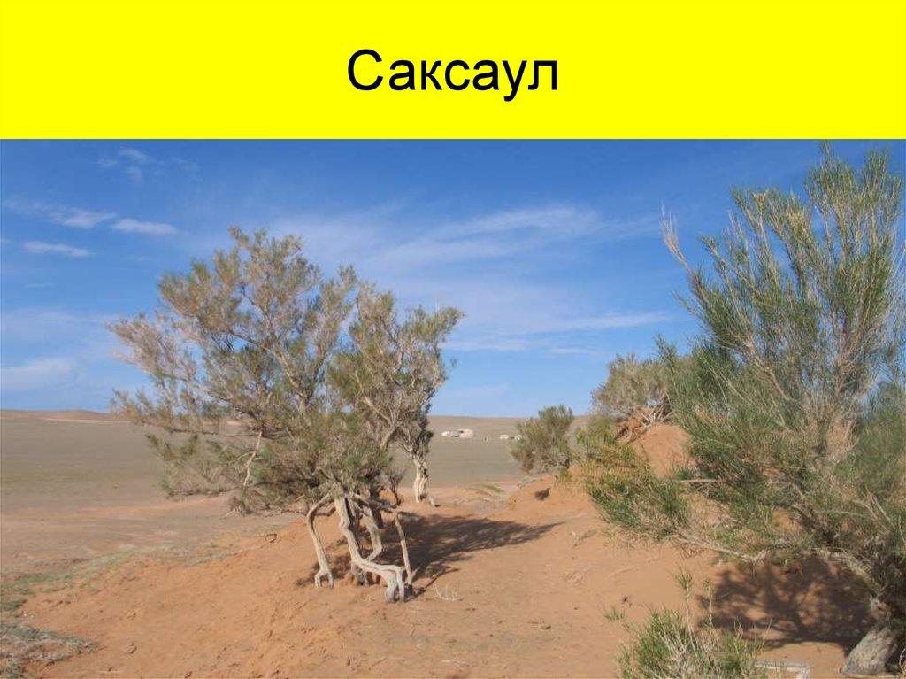 Картинки саксаула пустыни для детей