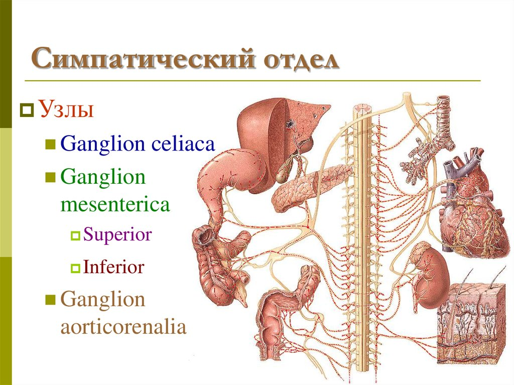 Tolle Bauch Anatomie Ppt Fotos - Anatomie Ideen - finotti.info