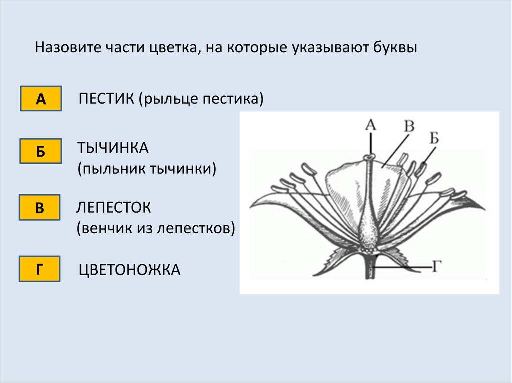 Рост стебля в длину происходит благодаря делению клеток
