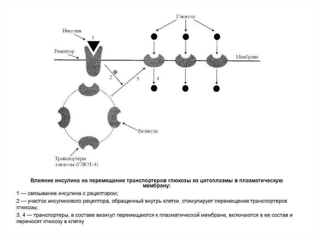 Клетки транспортеры в крови ребрихинский элеватор алтайский край