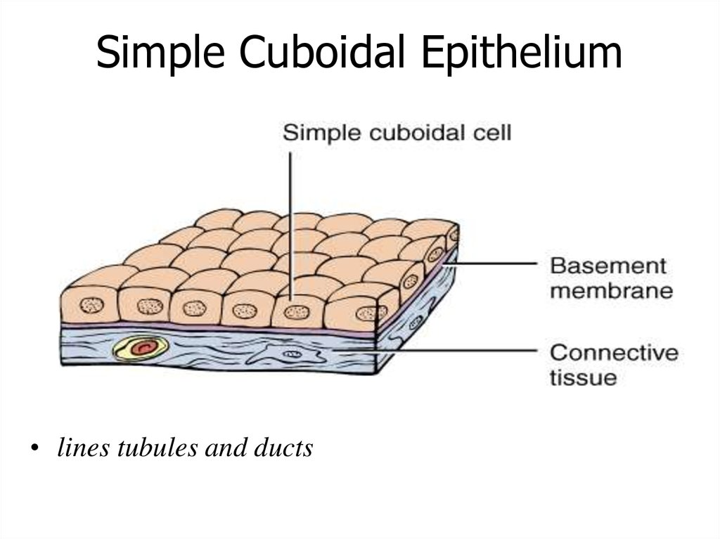 Please, note and write down: The morphology of the epithelium correlates with its function: