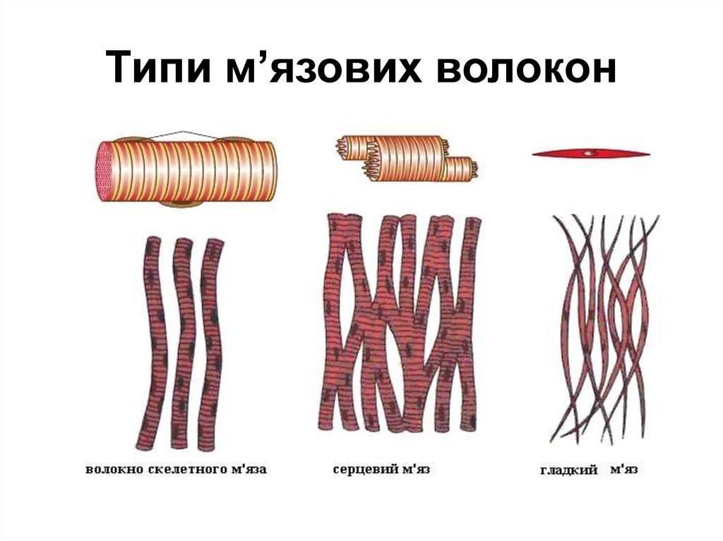 Фізіологія м'язів - online presentation