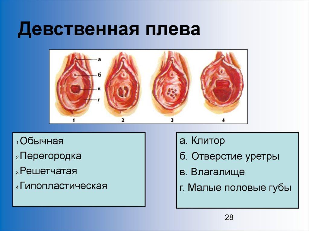 как выглядит половой орган девственницы