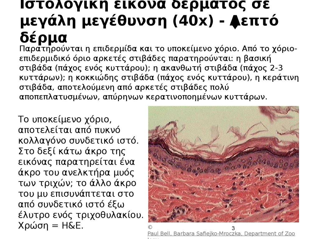 60cfac3848c5 ... Ιστολογική εικόνα δέρματος σε μεγάλη μεγέθυνση (40x) - Λεπτό δέρμα ...