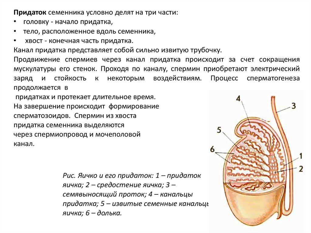 Продвижение спермиев