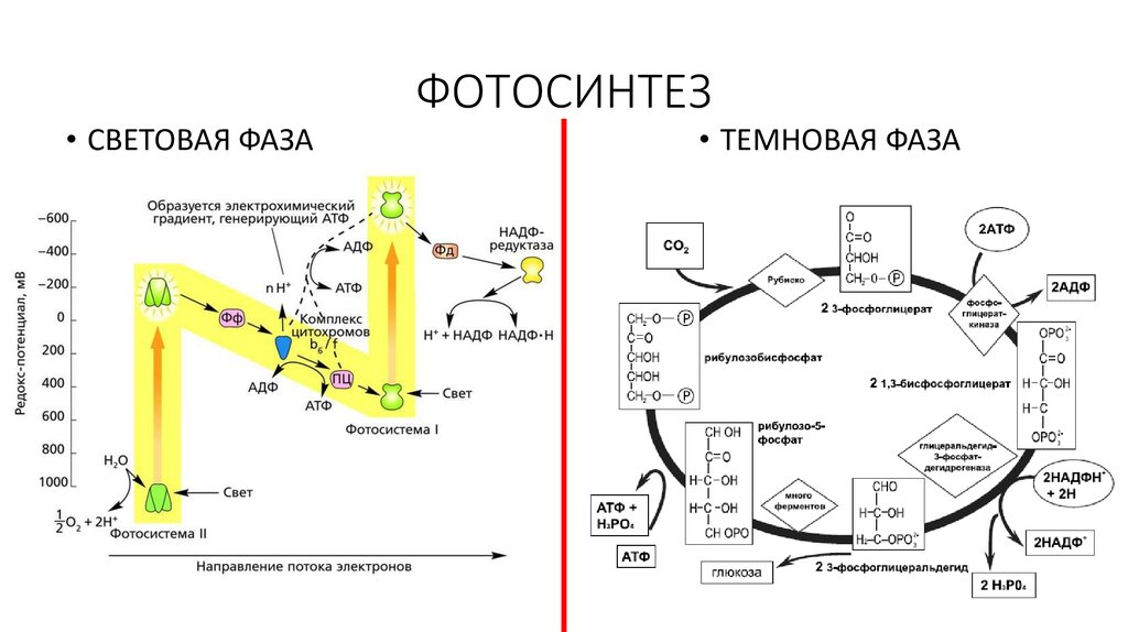 время будущая фотосинтез механизм процесса утяжеляют обувь, количество