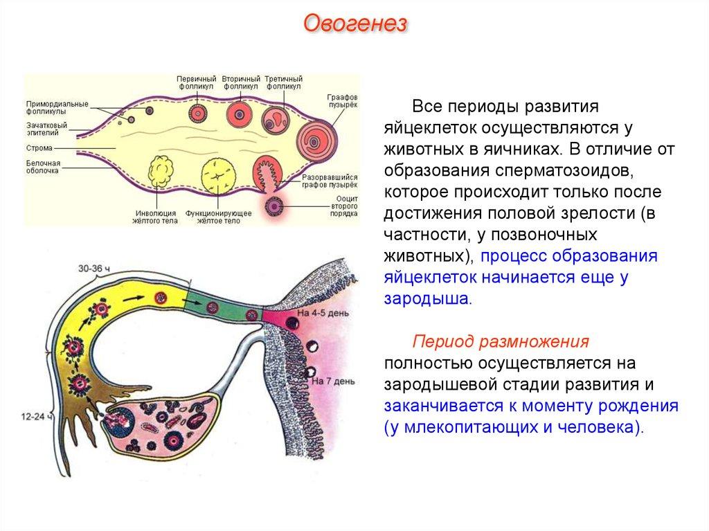 Где происходит образование сперматозоида