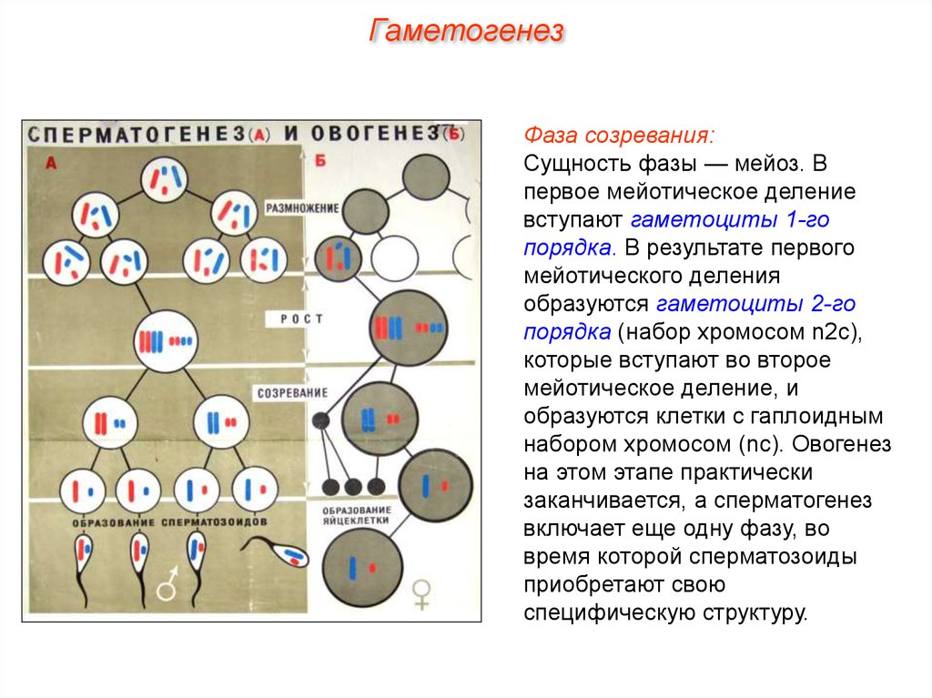 Сперматоциты 1 порядка