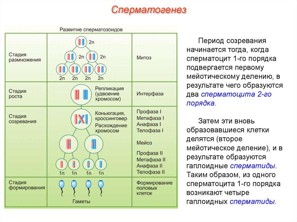 Что такое сперматоцит