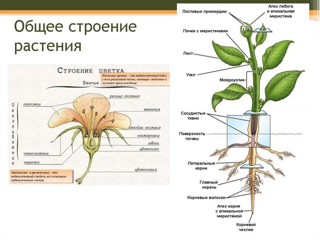 страхи внешнее строение растения картинки посетителями