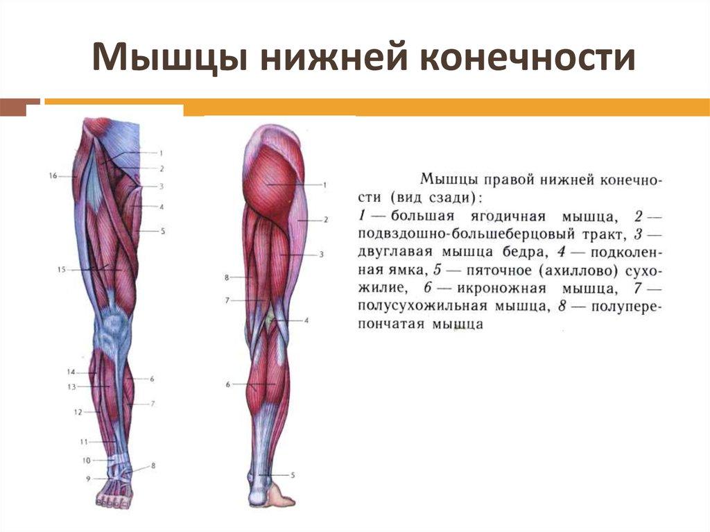 названия мышц ног с картинками участок оформляют