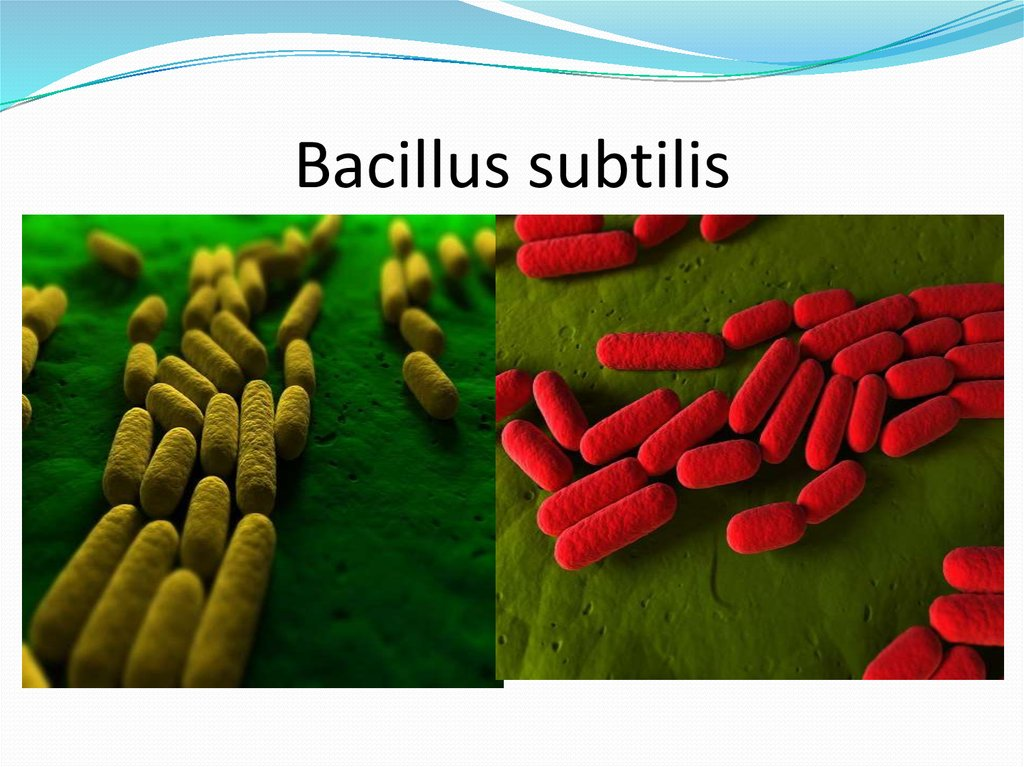 an analysis of the identification of bacillus subtilis Diversity analysis of bacillus subtilis from soils of western ghats of karnataka using 16s rrna bacterial sample collection and bacillus species identification.