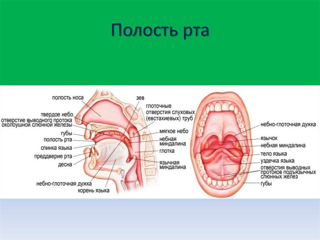 схема полости рта человека москве