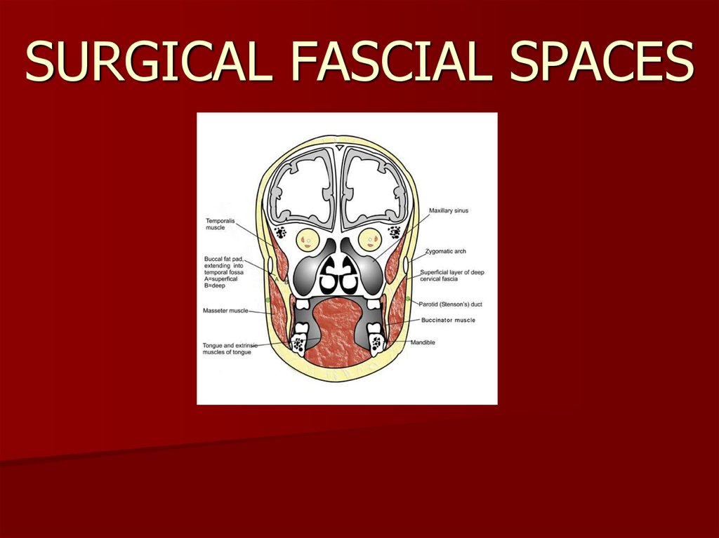 SURGICAL FASCIAL SPACES