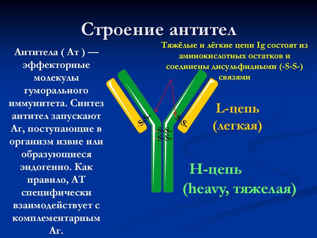 говоря, строение антител картинки друг вторая половина