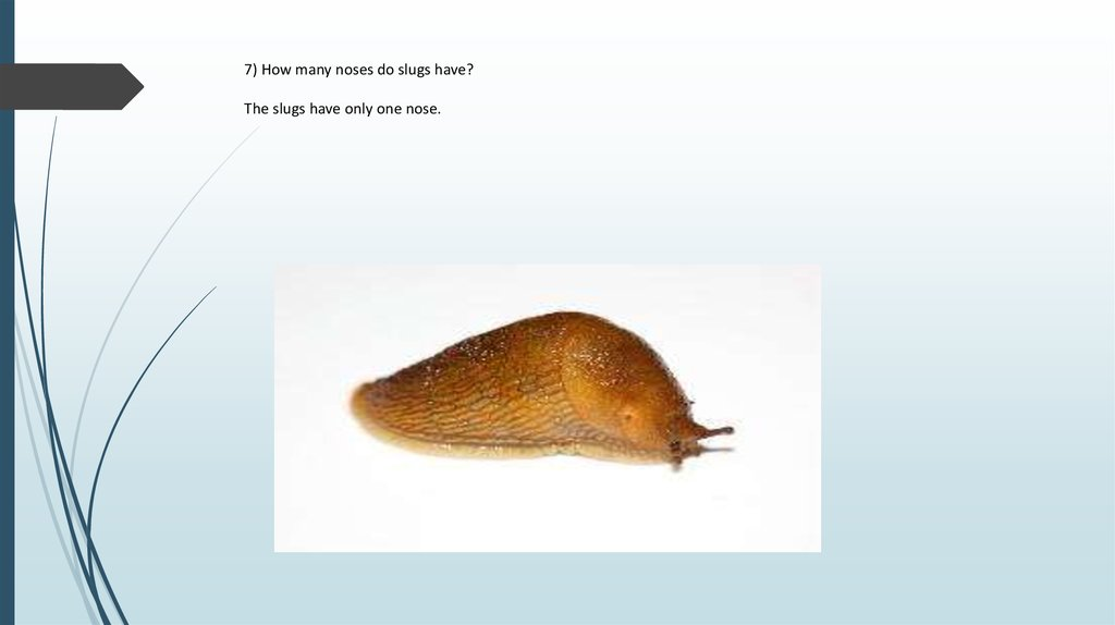 7) How many noses do slugs have? The slugs have only one nose.
