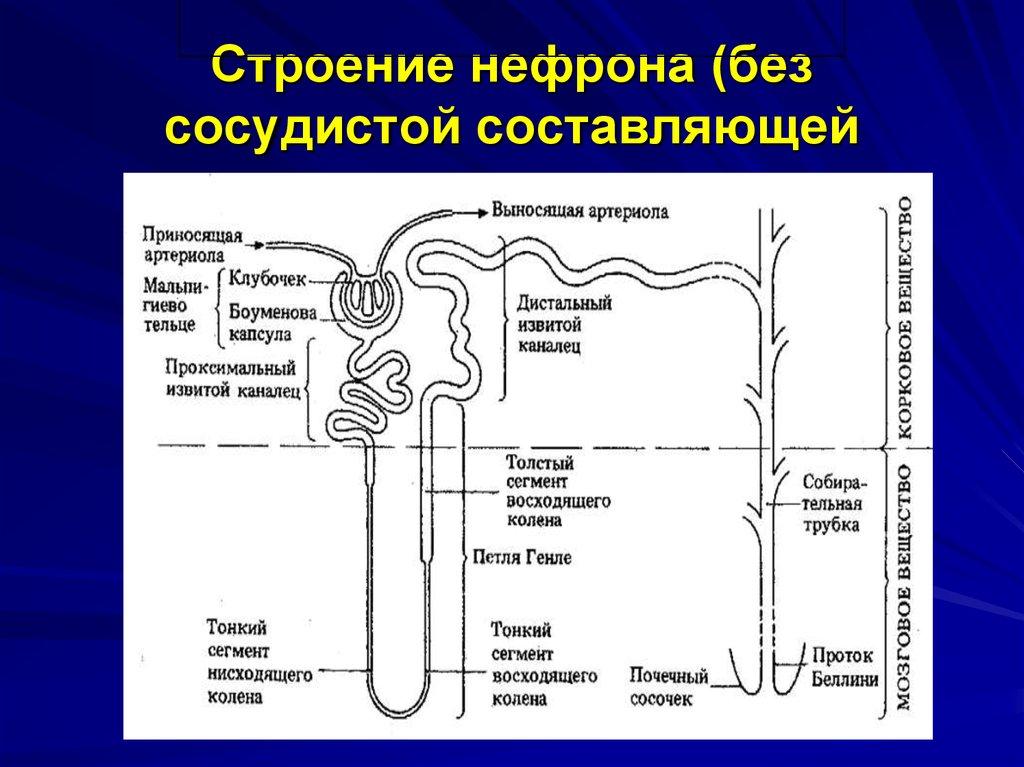 структура нефрона картинка ангина детей