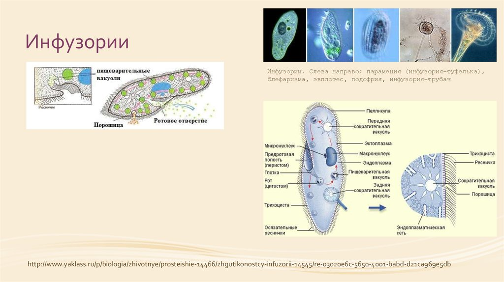 Пищеварительная система инфузории туфельки