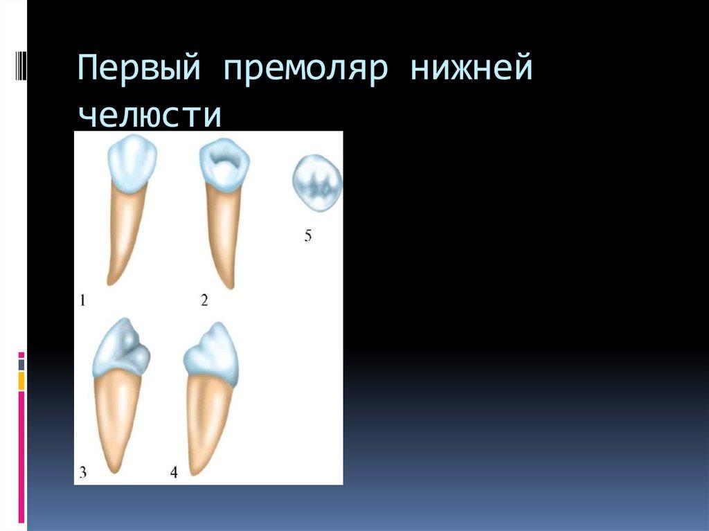 Боковой резец нижней челюсти