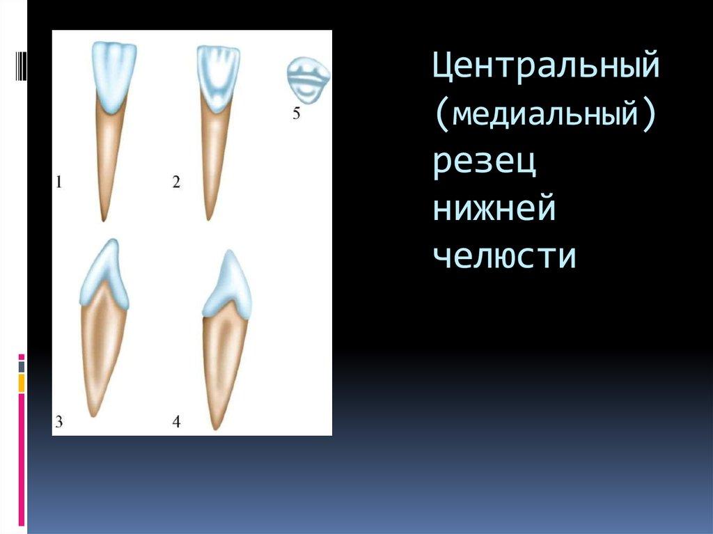 Центральный резец нижней челюсти