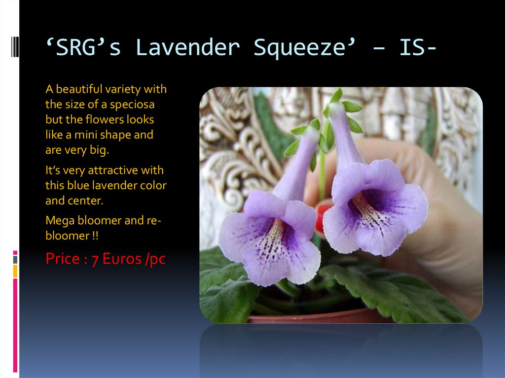 'SRG's Lavender Squeeze' – IS-