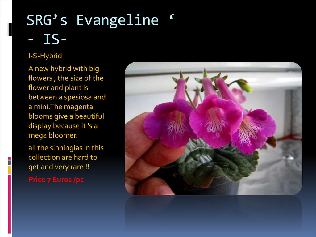 SRG's Evangeline ' - IS-