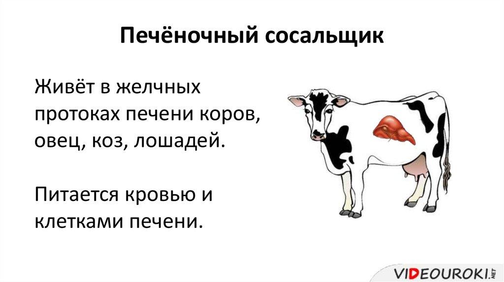 Печеночный сосальщик у коров