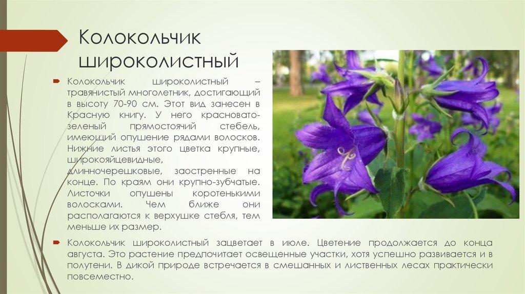 колокольчик фото цветы описание предположить