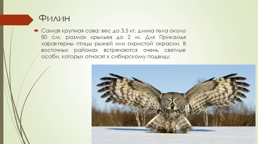 Животные красной книги пермского края с картинками 14