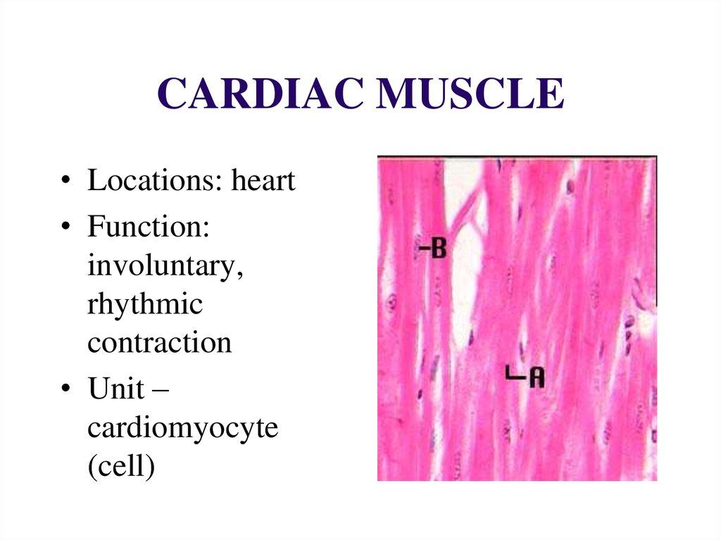 Muscle Tissue Online Presentation