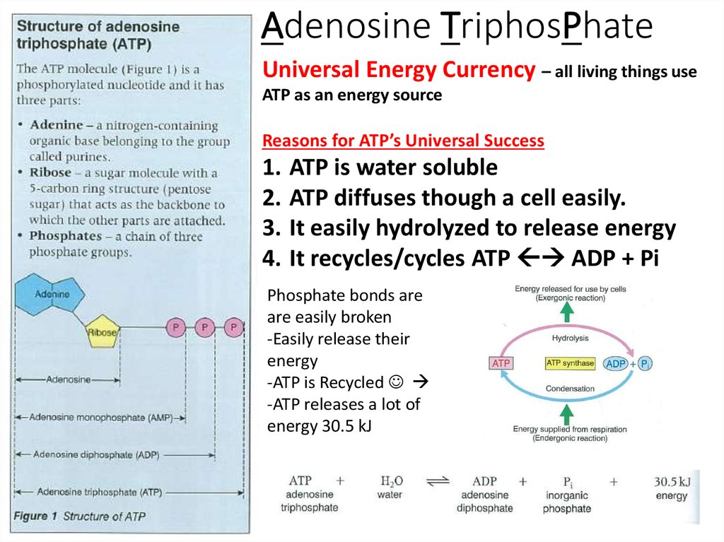 adenosine triphosphate essay The adenosine triphosphate is one of the most popular assignments among students' documents if you are stuck with writing or missing ideas, scroll down and find inspiration in the best samples adenosine triphosphate is quite a rare and popular topic for writing an essay, but it certainly is in our database.