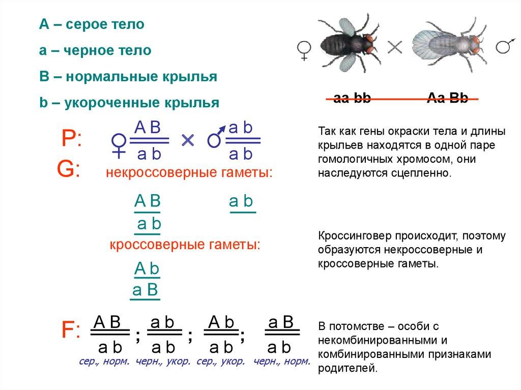 Решение задач биологии кроссинговер николай 1 задачи и их решения