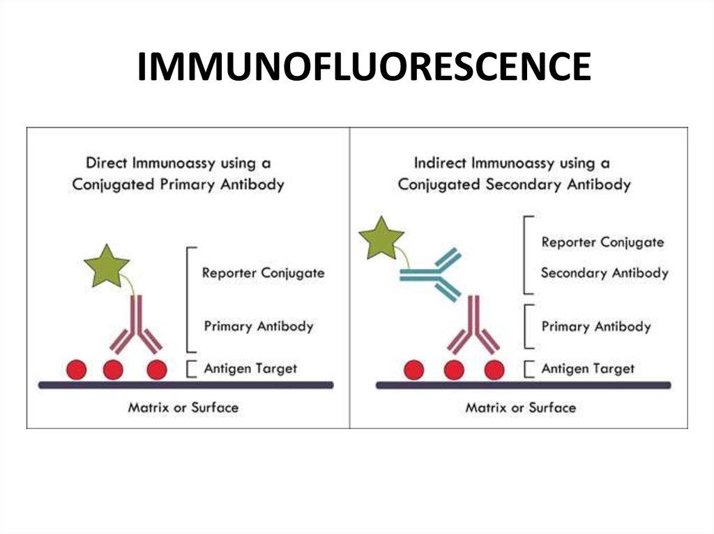 Serology  Immunity Reactions Agglutination  Precipitation And Immunofluorescence Reactions