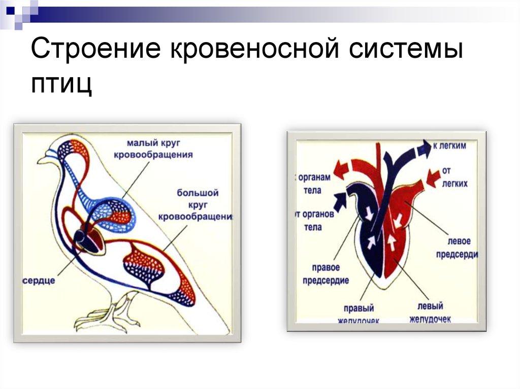 города картинки кровеносная система птиц все равно