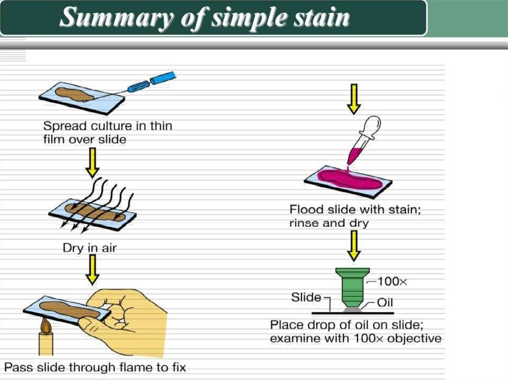what is simple staining in microbiology
