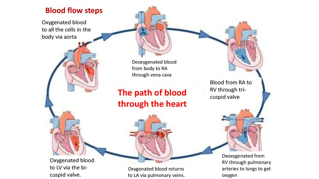 The Cardiac Cycle And Ecg