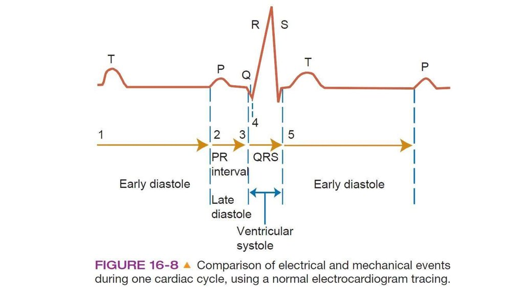 The Cardiac Cycle And Ecg Online Presentation